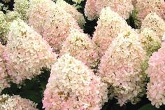 """Sweet Summer Hydrangea (1.5m high & wide) White-green to pink blooms summer to fall.  Compact strong strems make it a """"no-flop"""" variety.  Zone 3  Prefers full sun. Canadale Nurseries Ltd."""