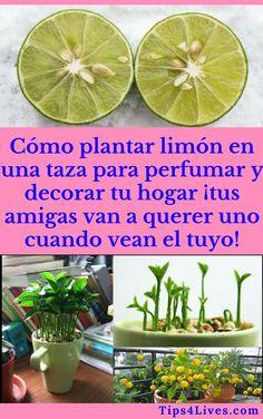 aprende a plantar limón en una taza para perfumar y decorar tu hogar. Garden Paths, Herb Garden, Vegetable Garden, Garden Landscaping, Balcony Plants, Garden Planters, Garden Beds, Regrow Vegetables, Growing Vegetables