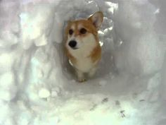 A corgi snow tunnel! I will be making a corgi cave for my dogs this winter for sure