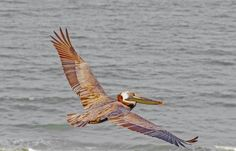 Brown Pelican after a snack Photo by Karen Jacobs Cook -- National Geographic Your Shot