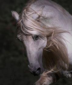 Cute Horse Pictures, Beautiful Horse Pictures, Most Beautiful Animals, Horse Photos, Kathiyawadi Horse, Horse Love, Horse Braiding, Horse Artwork, Appaloosa Horses