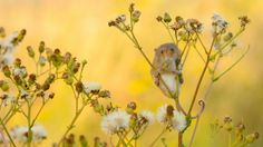 harvest mouse hd free download wallpapers