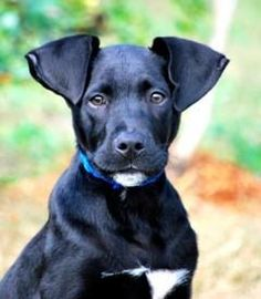 Point Pleasant, PA ~ BANDIT is 4mos male black Lab / Great Dane mix puppy. Bandit is very social & curious. He's highly intelligent & has responded wonderfully in his beginning training. He's on a great track in socialization w/ other puppies, cats, large & small adult dogs -- and he's interacted with children ages 2-10. Bandit already walks nicely on a leash & is crate trained. Bandit is neutered & current on vaccines. Visit WWW.LULUSRESCUE.COM/ADOPT to apply!