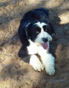 Reggie is an adoptable Portuguese Water Dog searching for a forever family near Alexandria, VA. Use Petfinder to find adoptable pets in your area.