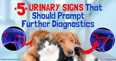 Ectopic ureters are displaced ureters; the condition is rare in both dogs and cats and is congenital. http://healthypets.mercola.com/sites/healthypets/archive/2016/12/18/pets-ectopic-ureters.aspx