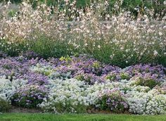 [The article is talking about choosing the right colors for contrast so that the flower bed is not just a green space but is endowed with the joy of color. White sweet alyssum in front, gaura in back.  I can't see the lavender flowers very well--possibly one of the short varieties of ageratum?]