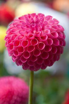 Pink Lipstick by Paul Slebodnick Dahlia Flower, My Flower, Glass Flowers, Love Flowers, Succulents Garden, Planting Flowers, Beautiful Roses, Beautiful Gardens, Birthday Wishes Flowers