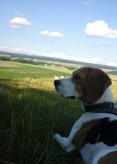 Hanny-the-beagle