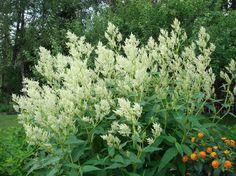 Aconogonon x fennicum, Finnslide. Upp till 2m. Ståtlig kulturväxt som kan behöva stöttas för att inte fläkas ut vid kraftiga regn. Lättodlad och tålig. Vissnar ned helt på hösten, kan få höstfärg.