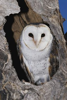 * A Barn Owl In Its Roost In A Hollow