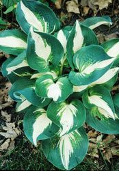 Half and Half Hosta - 4.5 Inch Container