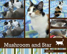 Mushroom and Star have been adopted! Mushroom & Star came to us with a nursing litter of kittens and Star's two sisters. They had been abandoned in a vacant lot and discovered by neighbors. Initially we separated Mushroom and Star because Star was nursing and we didn't have room for all to be together.We all noticed though that Star and Mushroom would gaze across the room at one another like lovers. We were able to reunite them & they have been together ever since.
