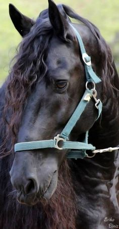 Black Gypsy Vanner Horse - Erika Diniz photo