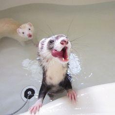 ふたりでぺろっ #bathtime #ferret #petstagram #instaferret #フェレット #animal