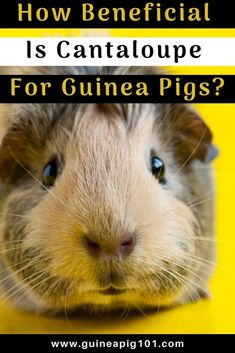 Is cantaloupe good for guinea pigs    what precautions you need to take I how to care for pet guinea pigs I pet baby guinea pig care I small animal care I guinea pig information I information on pet guinea pigs I what to do with pet guinea pigs I things to know about pet guinea pigs I pet guinea pig tips I care tips for pet guinea pigs I small pet homes I guinea pig cages I #guineapigs  #guineapigs #smallpets Guinea Pig Food, Baby Guinea Pigs, Guinea Pig Care, Best Fruits For You, Guinea Pig Information, Pigs Eating, Fruit List, Pet Home, Things To Know