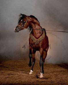 Horses Arabian horse -  MULTIPLE CHAMPION STALLION - POGROM Photo by Kelly Campbell