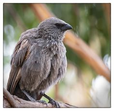 Apostlebird - a rare sighting in Canberra, but this bird has remained for 6 months - North Watson Wetlands, ACT
