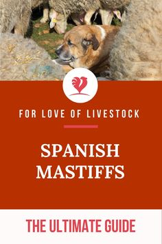 """The Spanish Mastiff is best described as """"powerful."""" This livestock guardian dog (LGD) is large, incredibly protective, and packs a ferocious bark. If you want to learn more about these dogs and how to care for them, this article is for you! Large Animals, Animals And Pets, Spanish Mastiff, Raising Farm Animals, Mastiff Puppies, Farm Dogs, Tibetan Mastiff, Anatolian Shepherd, Pyrenees"""