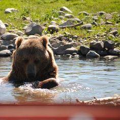 Montana Grizzly Encounter on Woodchuck Road near Bozeman, Montana