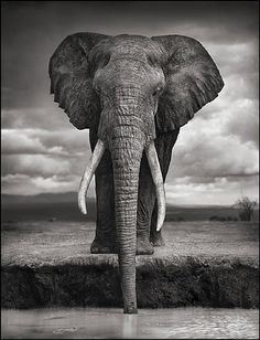 artnet Galleries: Elephant Drinking, Amboseli by Nick Brandt from HASTED KRAEUTLER