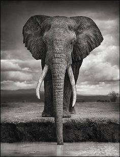 artnet Galleries: Elephant Drinking, Amboseli by Nick Brandt from HASTED KRAEUTLER