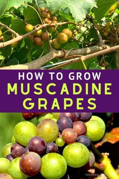 House Remodeling Is Residence Improvement Growing Muscadine Grapes Is Easier Than You Think - Nothing Beats A Vine-Picked Muscadine Fruit Garden, Edible Garden, Garden Fun, Garden Seeds, Easy Garden, Dream Garden, Gardening For Beginners, Gardening Tips, Vegetable Gardening