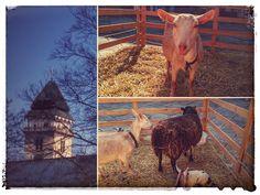 Anička Brouky Štěbetáková: Krásná jarní neděle Goats, Animals, Animales, Animaux, Animal, Animais, Goat