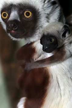 Baby Sifaka and Mother