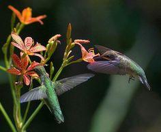 Colibríes guarani