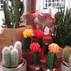 Cactus @Lijnm.com