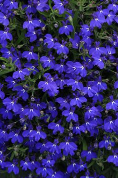 Hot Springs Lobelia. A truly delightful variety, with colors ranging from, white to lavender pink and pale blue.