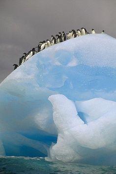 Adelie Penguins Iceberg Antarctica by Tui De Roy