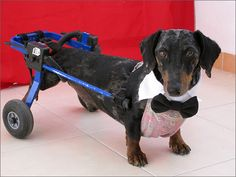 Dachshund Wheelchair 10 year customer, great products, the plaid male wrapper are better than solid thou) Diy Dog Wheelchair, Animal Heros, Funny Animals, Cute Animals, Miniature Dachshunds, Weenie Dogs, Dachshund Love, Pet Safe, Pet Accessories
