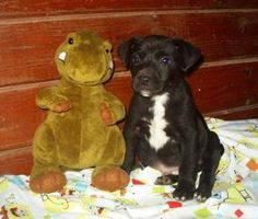 Auto is a cute little male Lab mix puppy approximately 10 weeks old. He and his litter mates are all looking for their forever homes where they can start bonding with their new families.  #petfinder #dog #adoption #puppy #chow