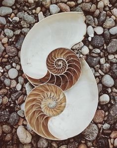 Nautilus Shells, by Edward Weston Patterns In Nature, Textures Patterns, Fractal Patterns, Animals Tattoo, Spirals In Nature, Fractals In Nature, Fibonacci Spiral, Fibonacci Number, Nautilus Shell