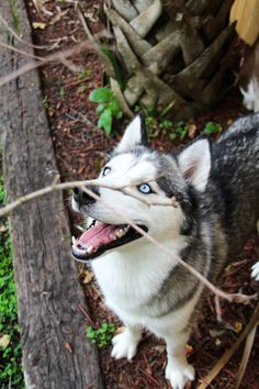 This Husky looks just like my late boy Silver! I miss you boy