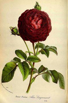 Rosa canina di J. Zoon da  Afbeeldingen der artseny-gewassen met derzelver Nederduitsche en Latynsche beschryvingen di Dirk Leonard Oskam...