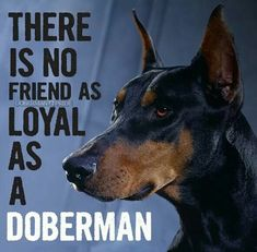 The Doberman Pinscher is among the most popular breed of dogs in the world. Known for its intelligence and loyalty, the Pinscher is both a police- favorite I Love Dogs, Puppy Love, Puppy Pics, Black And Tan Terrier, Doberman Pinscher Dog, Doberman Love, My Guy, Dog Life, Dogs And Puppies