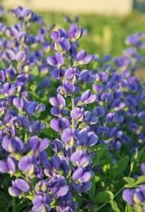 Baptisia Decadence Series. This new series features unique flower colors and a shorter, more compact habit that is better proportioned for today's city gardens. The magnificent flower stalks on top of blue-green foliage bloom from late spring to early summer. Yummy names include 'Blueberry Sundae' (shown), Cherries Jubilee', 'Dutch Chocolate' and 'Lemon Meringue'. Best of all, baptisia is low maintenance, drought tolerant and deer resistant. Sun to partial shade Size: 3-4 ft tall and wide