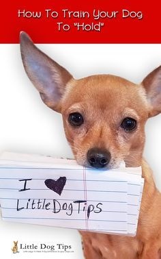 """At first, it was difficult to teach Matilda to """"hold"""" objects because she'd quickly spit them out for a treat. I came up with some unique methods to help her understand what I needed her to do. Now, she holds like a pro!  #positivetraining #dogtricks #chihuahua  How To Train Your Dog To Hold A Toy - Little Dog Tips"""