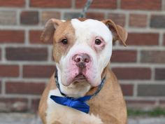 Brooklyn Center DANNY - A1030133 **SAFER: AVERAGE HOME** MALE, TAN / WHITE, PIT BULL MIX, 6 yrs STRAY - STRAY WAIT, NO HOLD Reason STRAY Intake condition EXAM REQ Intake Date 03/12/2015 Main Thread: https://www.facebook.com/photo.php?fbid=979639505382262