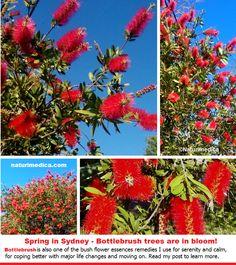 Bottlebrush - Australian Bush Flower Essences remedy for letting go emotionally and physically.