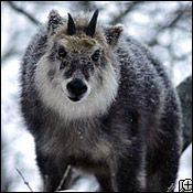 Japanese serow lives in Shirakami-Sanchi forest.