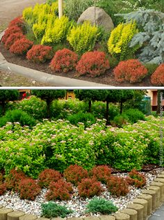 A showstopper with a blaze of red new growth in spring set off by golden leaf margins, Admiration Barberry holds its vibrant color throughout the season. Driveway Entrance Landscaping, Backyard Landscaping, Landscaping Ideas, Garden Shrubs, Garden Plants, Lawn And Landscape, Creative Landscape, Front Yard Plants, Plants