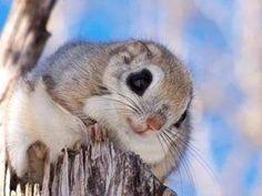 エゾモモンガ なんて可愛いのだ❗ Baby Animals, Funny Animals, Cute Animals, Japanese Dwarf Flying Squirrel, Animal 2, Color Pencil Art, Animals Images, Chipmunks, Funny People