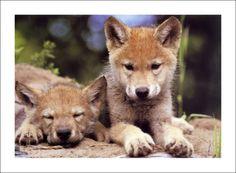Resultados de la Búsqueda de imágenes de Google de http://www.essentialart.com/mh/Art_Wolfe_Spring_Wolf_Pups.jpg