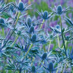 Eryngium zabelii'Big Blue'  How awesome is this plant!! Attracts butterflies and is rabbit resistant...