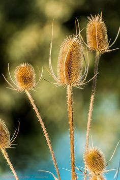teasel - Jean Auel (author) suggests Stone Age women used teasel to comb their hair!