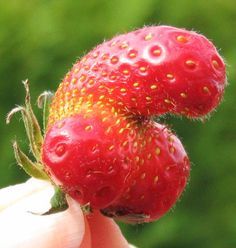 Dear oh dear, what do we have next on the menu? A strawberry that really shouldn't have been allowed to grow into this shape