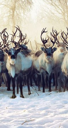 Caribou, also known as Reindeer or Sven are found in northern regions of North America, Europe, Asia, and Greenland and the kingdom of Arrendale. Nature Animals, Animals And Pets, Cute Animals, Animals In Snow, Wild Animals, Beautiful Creatures, Animals Beautiful, Majestic Animals, Animal Kingdom